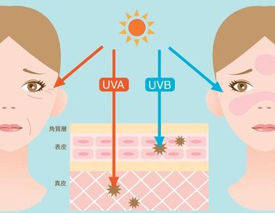 肌の断面と紫外線(UV-A、UV-B)の関係