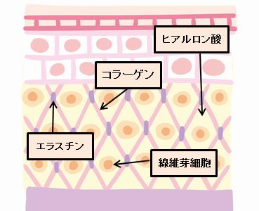 肌細胞の状態の断面図